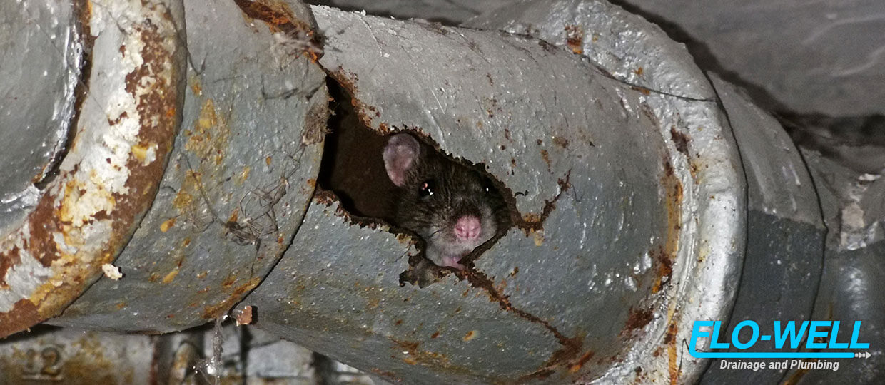 How Can I Protect My Drains From Rats?